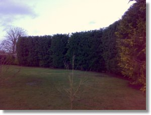 conifer hedge